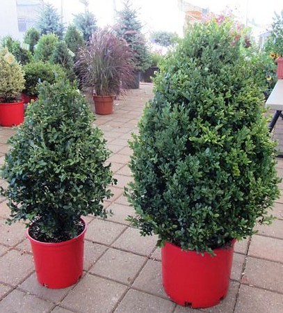 Buxus Green Mountain in red pots