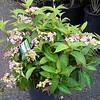 Hydrangea Chiffon #5