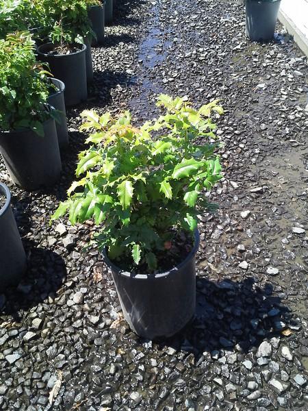 Mahonia aquifolium #5