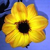 Dahlia Mystic Haze flower