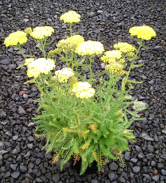 Achillea Desert Eve Yellow #1