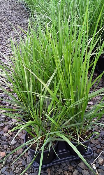 Calamagrostis Karl Forester QT