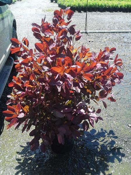 Cotinus Royal Purple #5