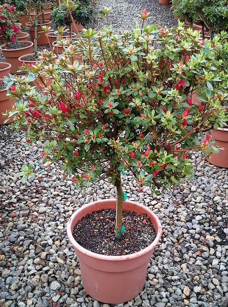 Azalea Hino Crimson PT 11RTU #597357