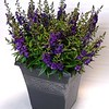 Angelonia Archangel Purple 10SQ