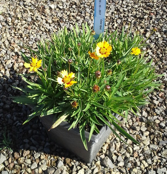 Coreopsis Sun Fire 10SQ #599752 Avail: approx 20