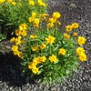 Coreopsis Early Sunrise #1 #503119 Avail: 86