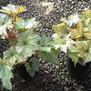 Begonia Cool Breeze Rouge #1 #596884 Avail: 130