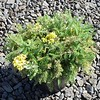 Achillea Desert Eve Yellow #1 #583541 avail: approx 6