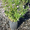 Aster Professor Kippenburg #1 #575526 avail: 80