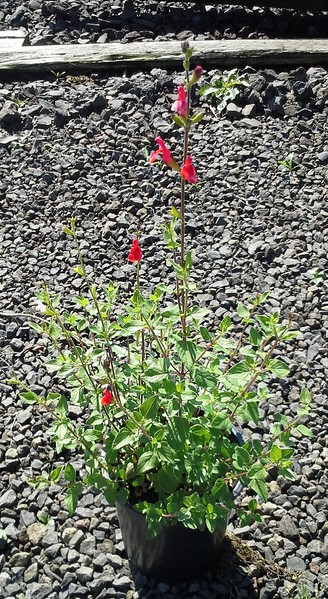 Salvia Hot Lips #1 #542757 Avail: approx 30