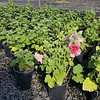 Alcea Spring Celebrities Rose #1 #592866 avail: 10