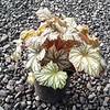 Begonia Cool Breeze Glacier #1 #596882 Avail: 99