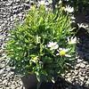 Leucanthemum Snow Lady 10SQ #590633 Avail: 15