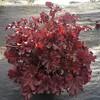 Heuchera Marmalade #1 #575595 Avail: 118