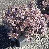 Sedum Purple Emperor 10SQ #599756 Avail: 45