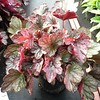 Heuchera Carnival Rose Granita #1 #505527 Avail: 490