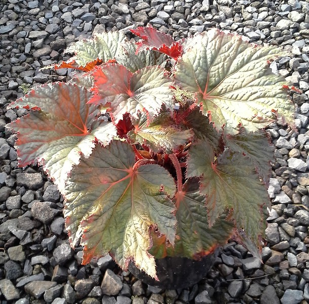 Begonia Cool Breeze Emerald #1 #596881 Avail: 94