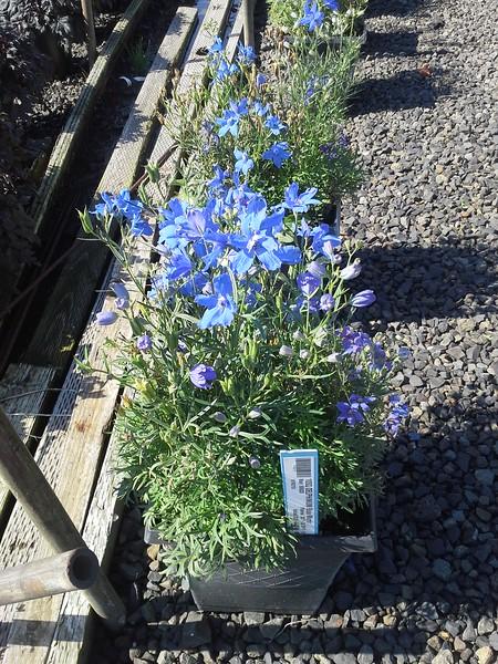 Delphinium Blue Mirror 10SQ #505030 Avail: approx 20