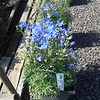 Delphinium Blue Mirror 10SQ #505030 Avail: approx 20
