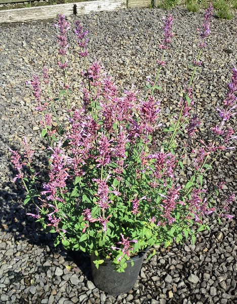 Agastache Acapulco Salmon Pink #1 #575516 Avail: approx 30