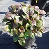 Ajuga Bronze Beauty #1 #594273 Avail: 265