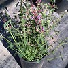 Agastache Acapulco Salmon Pink #1