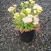Achillea Desert Deep Rose #1