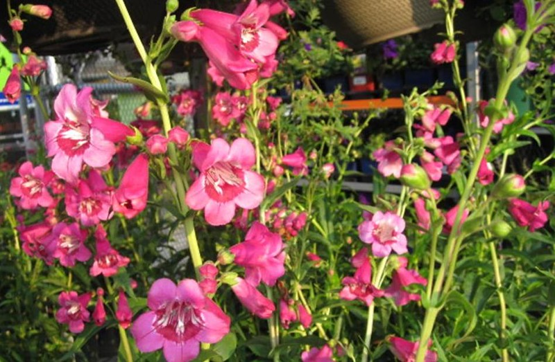 Penstemon Ruby Candles flowers