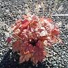 Heucherella Redstone falls 8in