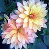 Dahlia Hidalgo flowers