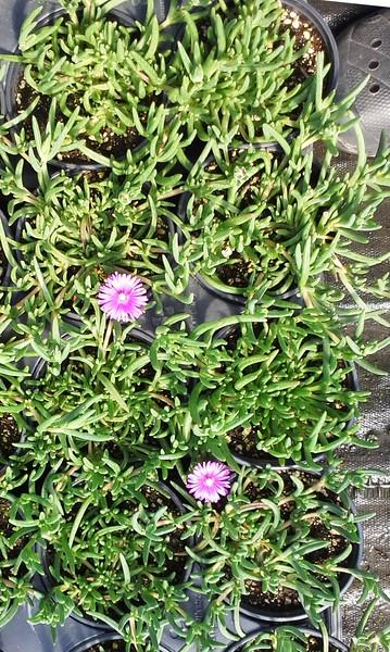 Delosperma cooperi Purple QT #530613