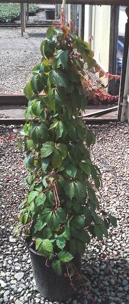 Parthenocissus Veitchii #5