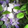 Wisteria sinensis flower