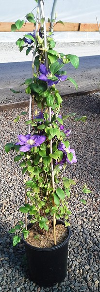 Clematis Chevalier #5