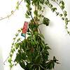 Parthenocissus Englemannii #1