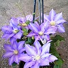 Clematis HF Young #2