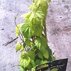 Humulus Summer Shandy 8in-not shippable in many areas, check first