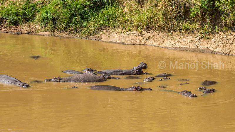 Hippos in Mara river ealy morning in Masai Mara