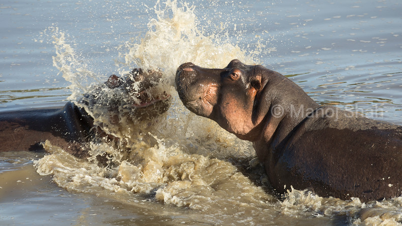 Adult hippos play fighting in Mara River in Masai Mara,