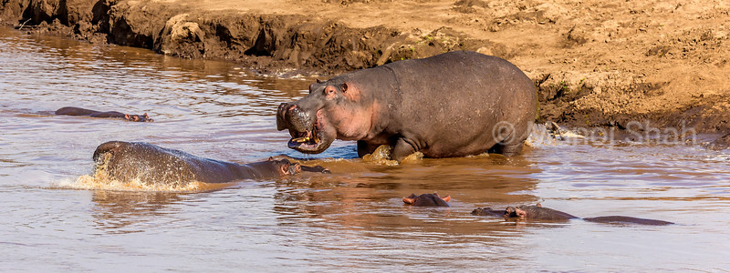 Hippo Shows aggression to another swimming in the Mara River, Masai Mara National Reserve, Kenya