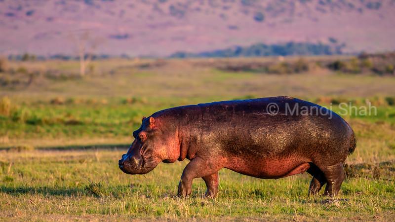 Hippopotamus grazing on the savannah early morning in Masai Mara.
