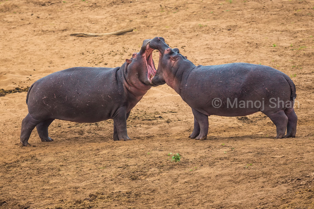 In a jovial mood, the copulation ceremonies started in water and brought the couple on to the river bed. The hippos are seen to 'kiss' each other lovingly.