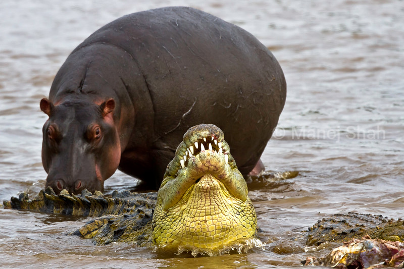 HIPPO WATCHING CROCODILE