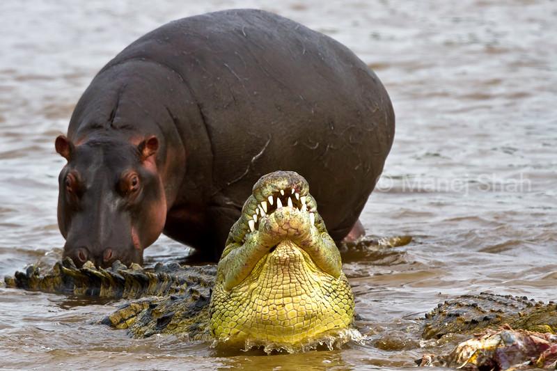 HIPPO WATCHING CROCODILE