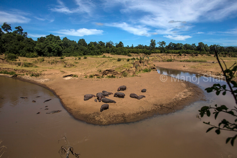 Hippos in the river  and river bed in Masai Mara
