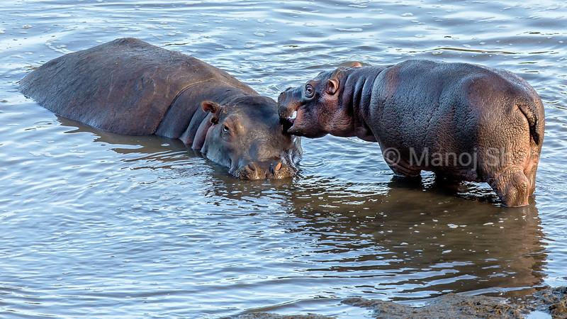 HIppo Baby grooming mother in Mara River in Masai Mara.
