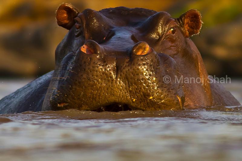 Alert Hippo