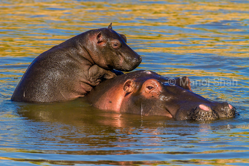 Hippo mother has her baby nibbling her ear in Masai Mara.