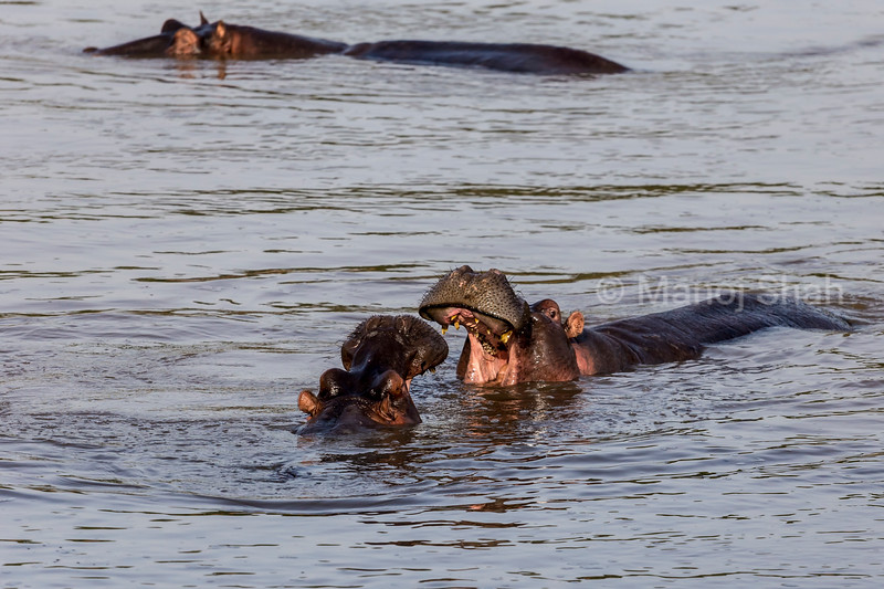 Hippos play fighting